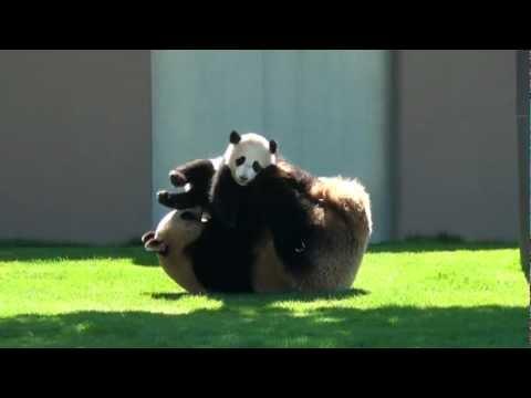 Mamãe panda brinca de luta com filhote
