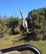 girafa1