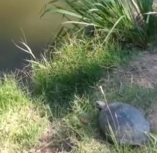 tartarugasaltando