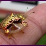 Besouros tartaruga dourado-